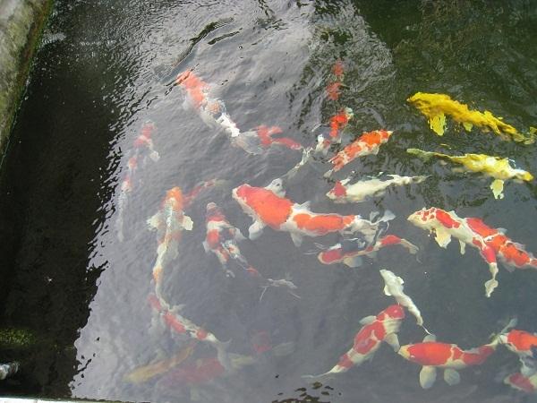 大磯国府本郷 【池の鯉たち】